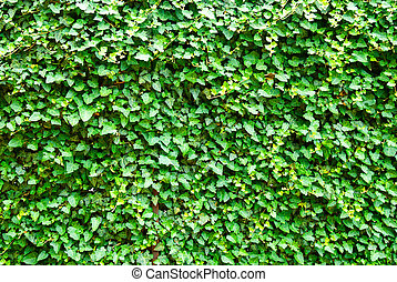 Wall of the leaves Ivy Hedera helix