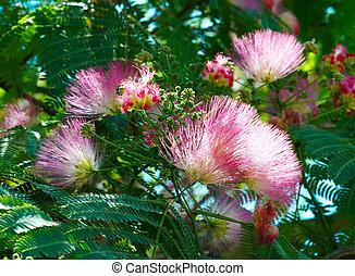 julibrissin), flores,  (albizzia,  Acacia