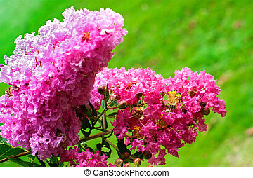 Crape myrtle flowers isolated on a green background