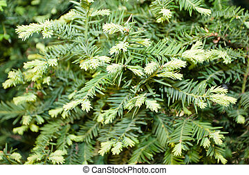 European yew (Taxus baccata) is a conifer native to western,...