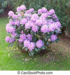 Common Rhododendron - Rhododendron ponticum is a species of...