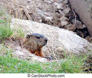 Ground Hog - Ground hog peeking out of his burrow in the...