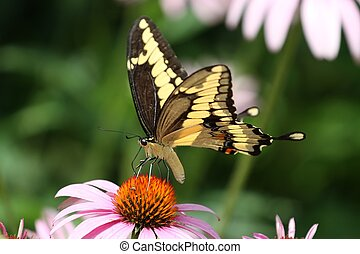 Giant Swallowtail - Feeding on a cone flower on a hot Summer...