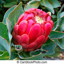 Red pink protea - Bright red protea flower in Maui