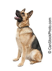 German shepard dog portrait on white background