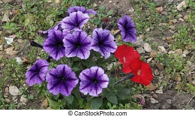 Purple and red Petunias swaying in the breeze