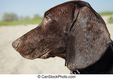 Kurzhaar - Young Kurzhaar puppy outdoors looking to the...