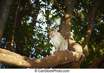 Wild monkey on the tree in Indian jungles. Goa. Natural...