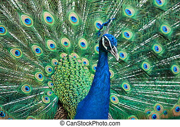 beautiful peacock - sideview of beautiful peacock showing...