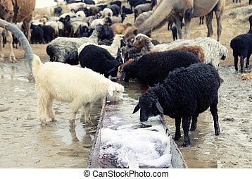 Watering place - Sheep drinking at the watering place....