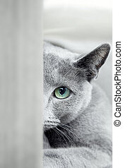 Hide and seek - Russian blue cat with green eyes hiding...