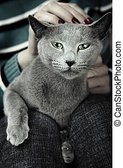 Wild cat sitting on the human knees. Artistic colors added