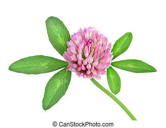 Red clover isolated on a white background