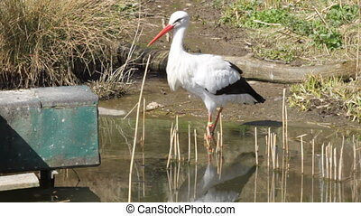 Stork wading in a pond