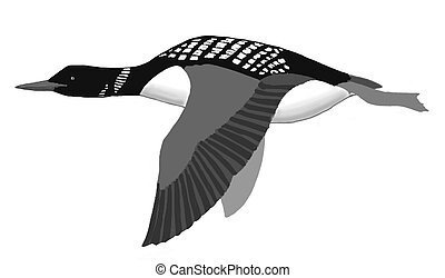 Common Loon in flight - Common Loon Gavia immer in flight
