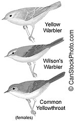 Comparison of 3 female warblers 2