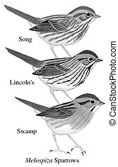 Comparison of Melospiza sparrows