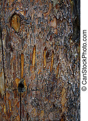 Bear Claw - Bear claw mark on trunk of tree