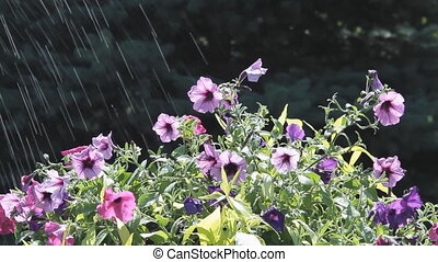Flowers In Rain - Petunia Flowers In A Summer Rain Shower
