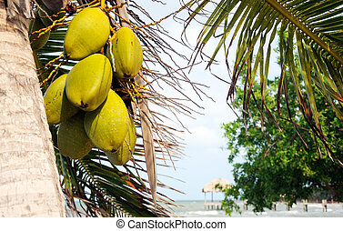Coconuts hanging from a palm tree by the sea