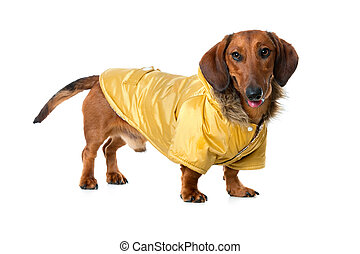 Dachshund in a winter parka over  white background