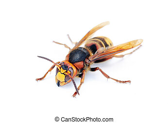 隔離, 白色, 大黃蜂