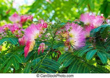 flores, Acacia, (Albizzia, julibrissin)