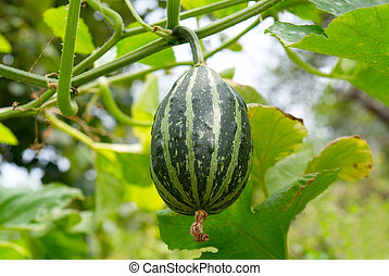 Young green pumpkin with green background.