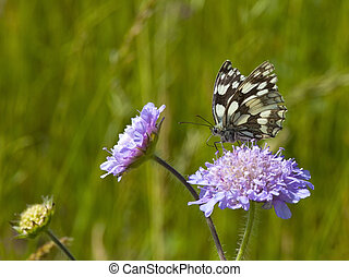 marbled white butterfly - a marbled white butterfly...