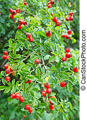 Red hips with leaves
