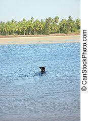 Swimming dog - Rear view on the black dog swimming in the...