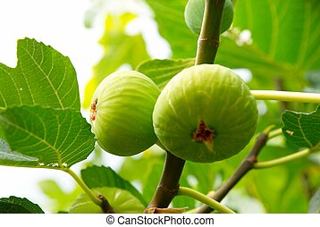 Green figs on the tree.