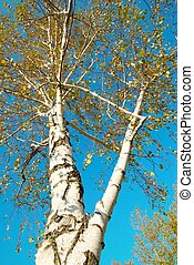 Fall birch with blue sky.