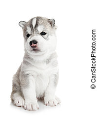 one Siberian husky puppy isolated - one little puppy...