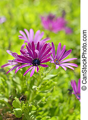 African Daisy Flower - Purple african daisy flowers in the...