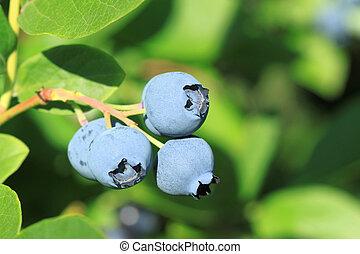 Blue huckleberry - Northern highbush blueberry (Vaccinium...