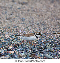 Charadrius hiaticula - Ringed plover feeling threatened by...