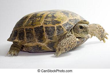 fehér, teknősbéka, háttér, elszigetelt