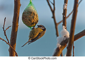 Feeding blue tit - Blue tit eating on a fat-ball hanging...