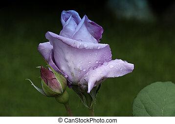 púrpura, rosa, mojado