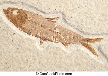 Fossil Fish with Bone Detail CLose Up Macro Image