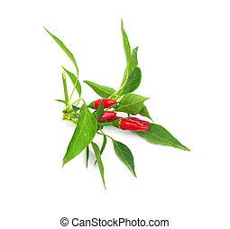 pequeno, vermelho, quentes, Havaiano, Chile, pimentas