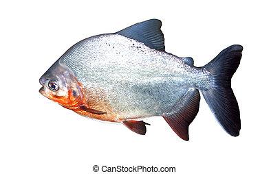 Piranha fish