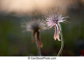 Field of the pulsatilla patens Ukraine, Crimea