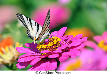 Tiger Swallowtail on the Zinnia
