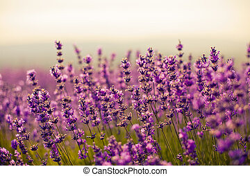 lavender flowers - purple lavender flowers in the field