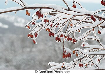 Ice covered red hips in winter forest
