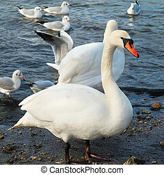 White swans. - White swans on the water.