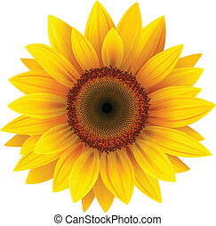 sunflower - Vector sunflower, realistic illustration