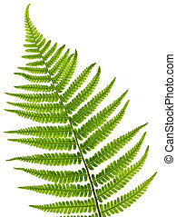 Fern leaf - Green fern leaf isolated on white background